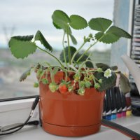 Выращивание земляники на балконе 24