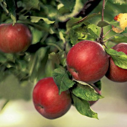 Чем опрыскивать от тли яблоню: раствор для опрыскивания