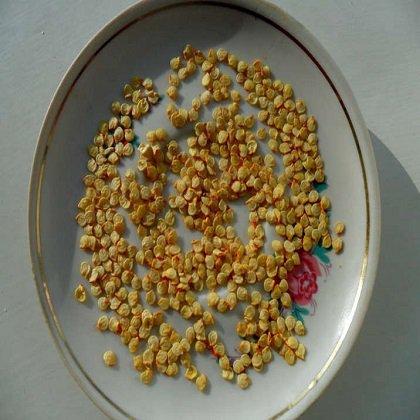 как прорастить семена перца в губке