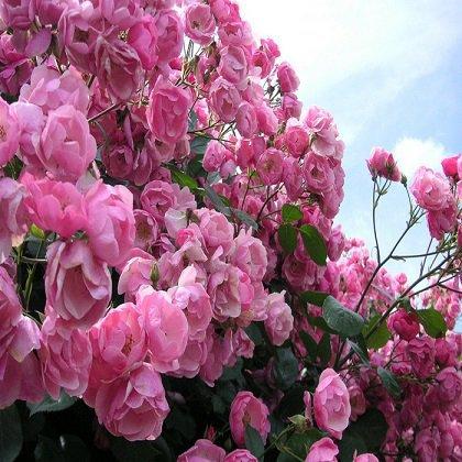 Как сохранить розы до посадки?