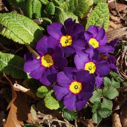 Как сажать примулу семенами: капризное растение