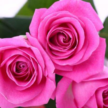 Как посадить подаренную розу?