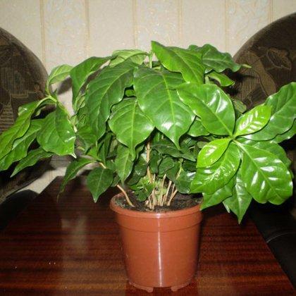 Как вырастить зеленый кофе дома?