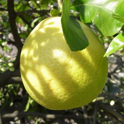 Опыление лимона