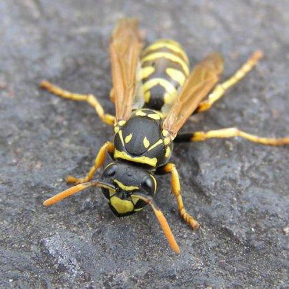 Вы тоже хотите знать, как живут осы?