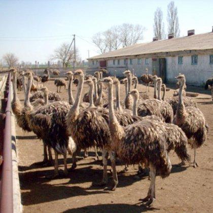 Как разводить страусов и что для этого понадобится?