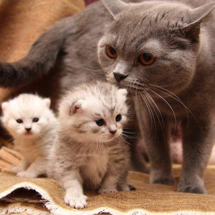 Как разводить кошек?