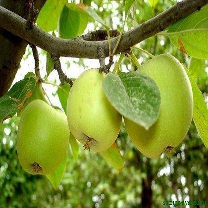 Как привить яблоню весной?