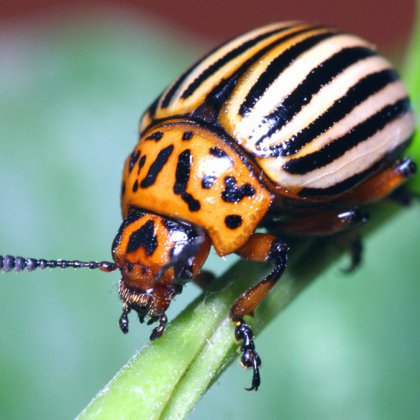 Как уничтожить колорадского жука?