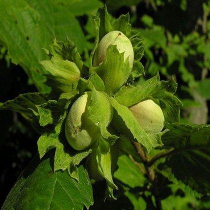 Как посадить маньчжурский орех на садовом участке?