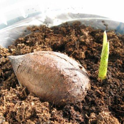 Семена пальмы проращивание