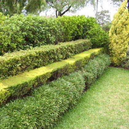 Как выбрать саженцы для живой изгороди?