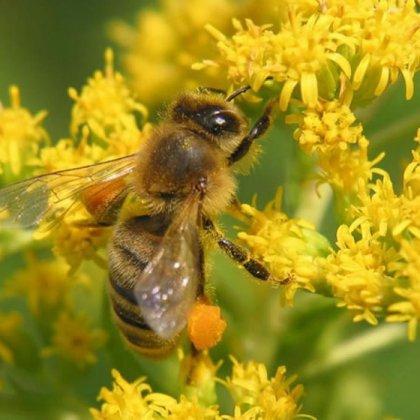 Как отличить осу от пчелы по внешнему виду?