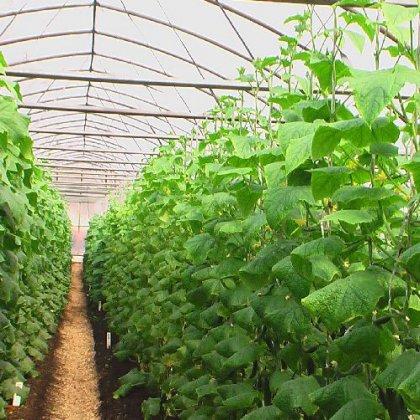 Как разместить растения в теплице: оптимальное расположение