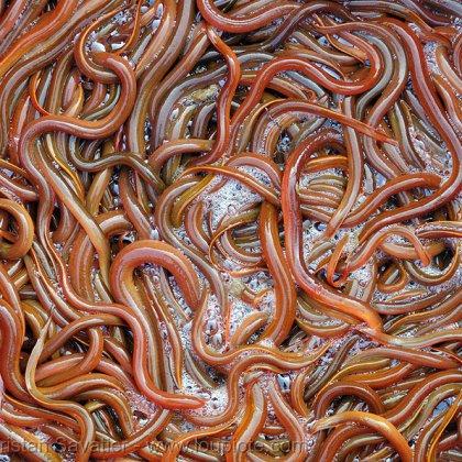 Как сохранить червей?