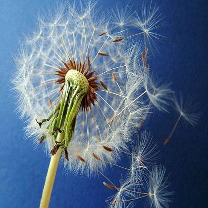 Как распространяются семена растений по ветру?