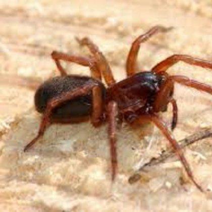 Что делать при укусе паука отшельника?