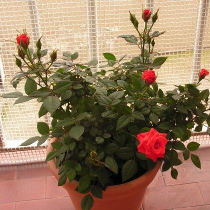 Как ухаживать за розами дома?