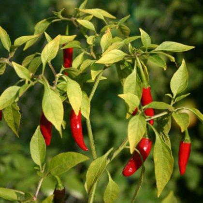 Как растить перец чили?