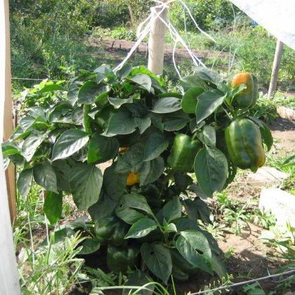 Как правильно посадить сладкий перец без хлопот?