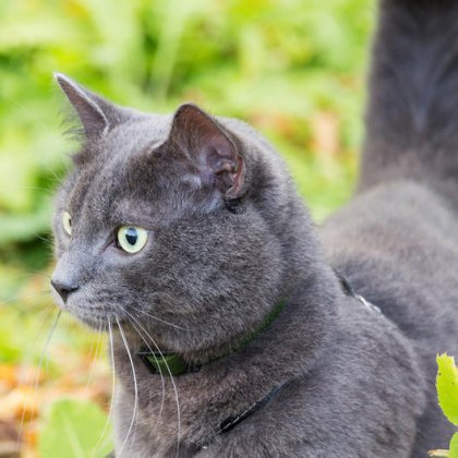 Как надеть шлейку на кота?