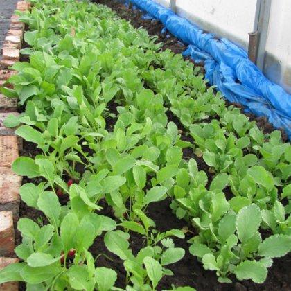Как правильно посадить редис в теплице?