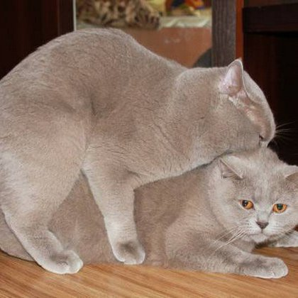 знакомство кошки и кота на вязке