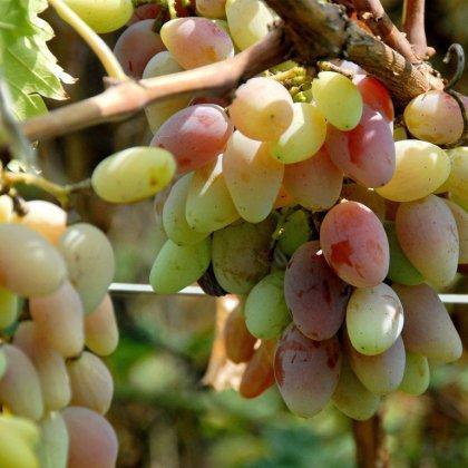 Как выбрать виноград?