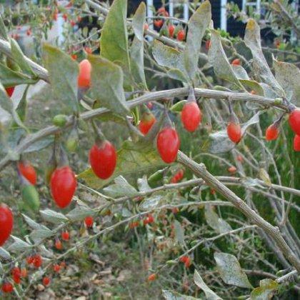 Полезные ягоды годжи: купить в Новосибирске