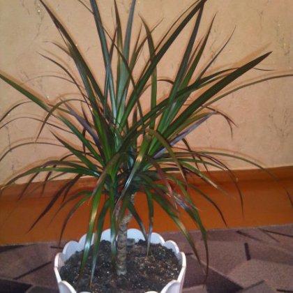 Как ухаживать за декоративной пальмой?