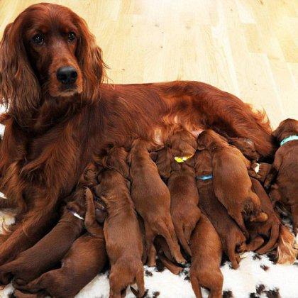Кормление собаки после родов