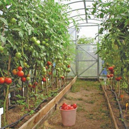 Опрыскивание помидор от фитофторы: чем лучше опрыскивать?