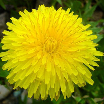 Как цветет одуванчик?