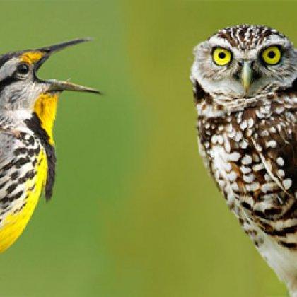 Может ли сова стать жаворонком?