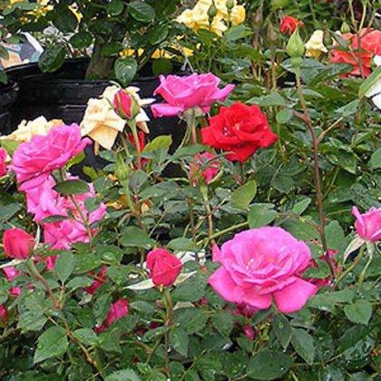 Как правильно выращивать розы ?
