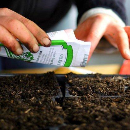 Как вырастить березу из семян?