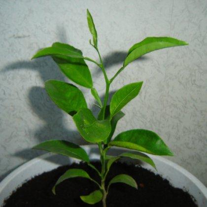 Как вырастить персик из косточки дома на подоконнике?