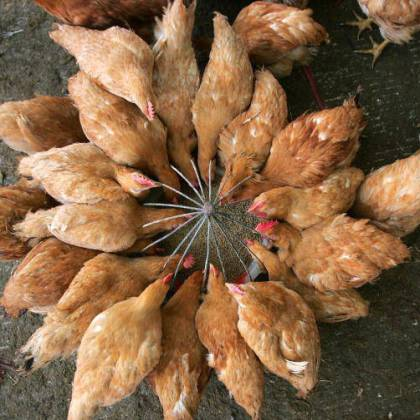 Как разводить кур? Секреты птицеводства