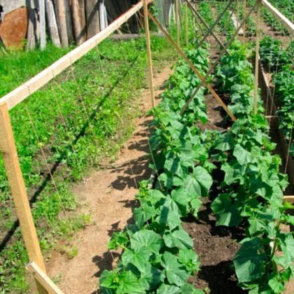Как правильно сеять огурцы в открытый грунт