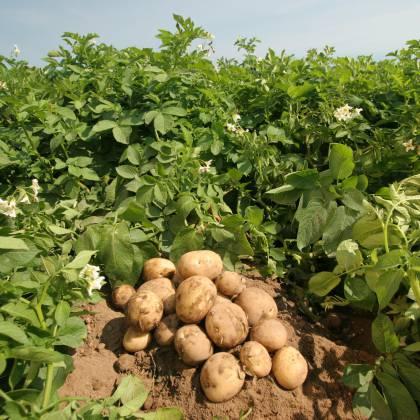 Как вырастить хороший урожай картофеля и правильно подобрать сорт?
