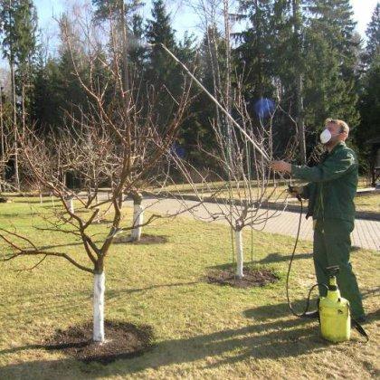 Чем и когда опрыскивать деревья, груши?
