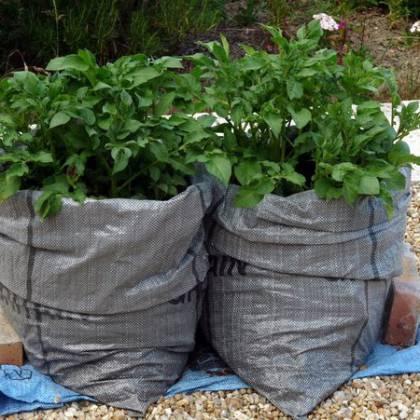 Как вырастить картофель в мешках: минусы и плюсы