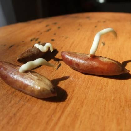 Как вырастить финики из косточки в домашних условиях в горшке?