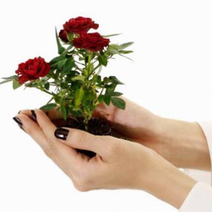 Как после покупки рассадить розу комнатную?