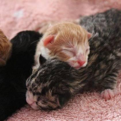 Сколько раз в год рожают кошки? Как часто может рожать кошка?