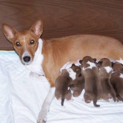 Как часто рожают собаки, как часто можно вязать суку?