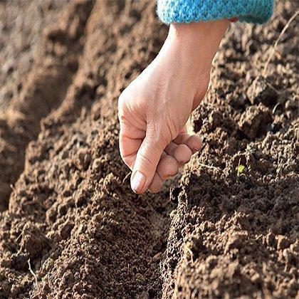 Ранункулюс: выращивание из семян
