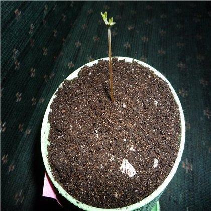 Как вырастить абрикос из косточки в домашних условиях?