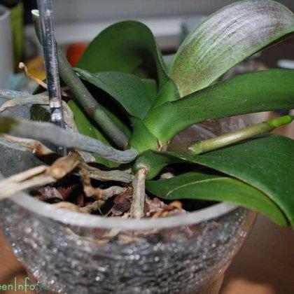 Как пересадить орхидею Фаленопсис в стеклянный горшок?
