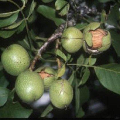 Как вырастить грецкий орех на садовом участке?